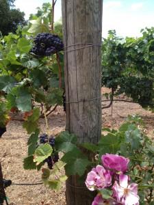 grapes&rose